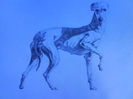 05 italiensk vinthund