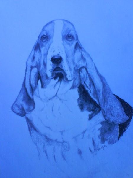 06 basset hound