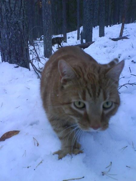 41 sibirisk tiger