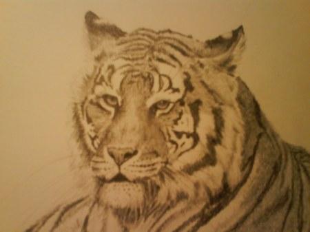 tiger huvudstudie